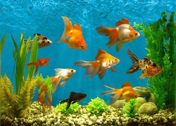 талисманы богатства аквариум