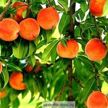 символ долголетия персик