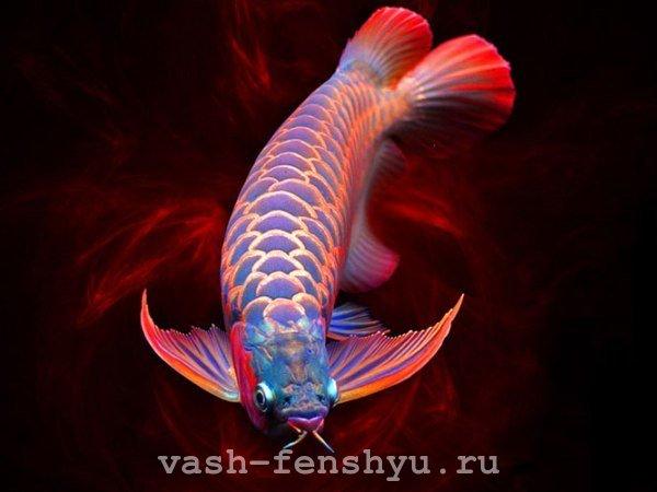 Арована фен-шуй: могущественная рыба-дракон