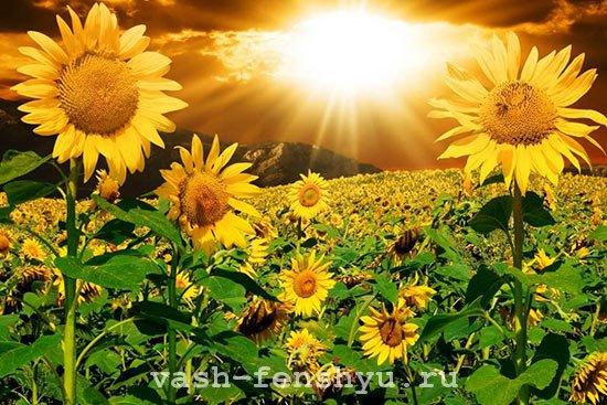 подсолнух в фен шуй солнце