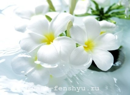 плюмерия цветок фен шуй белый