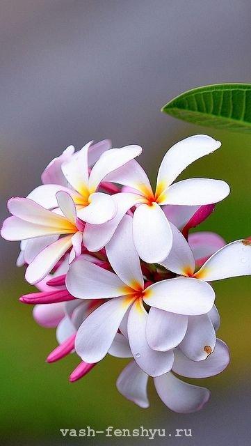 плюмерия цветок франжипани
